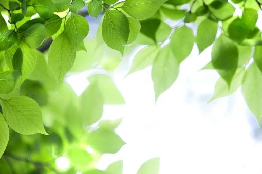 自然 風景 植物 樹木 木の葉 葉っぱ 緑の葉っぱ 新緑 若葉 初夏 夏 新芽の季節 四月・五月 六月・七月・八月 光 光透過光 暑中見舞い ポストカード コピースペース バックスペース 背景 森林 公園 野外アウトドア 季節感 季節の変わり目 爽やかな 新鮮な みずみずしい 木漏れ日 目に青葉