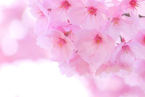 入学式 卒業式 新入生 花見 一年生 新生活 グラデーション テクスチャ テクスチャー 樹木 木 テキストスペース コピースペース 植物 優しい やさしい ソフト 柔かい やわらかい 美容 四月 4月 白 花弁 花びら 爽やか さわやか 青 空 自然 美しい さくら サクラ ピンク 花 春 綺麗 可愛い かわいい 背景画像 桜 カード ハガキ バックグラウンド 余白 スペース バック バック素材 素材 背景素材 日本 壁紙 明るい アップ 背景 和風 和 年賀状素材 元旦 年賀ハガキ イメージ 1月 新春 新年 お正月 正月 年賀状 年賀 元旦素材 初春 迎春 光 キラキラ