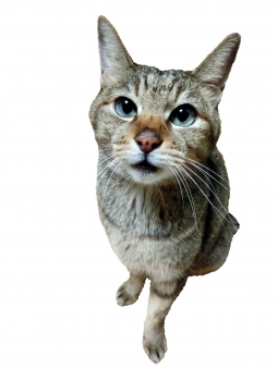 猫 ネコ CAT 座った カメラ目線 見つめる 眼差し 真剣 顔 表情 かわいい 可愛い 切り抜き 加工 背景白 動物 生きもの ペット 家猫 飼い猫 室内猫 ちゃこ おりこう 賢い 良い子