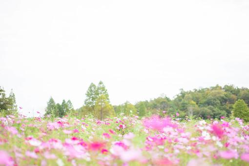 秋の風景 コスモス アキザクラ 秋桜 コスモス畑 花畑 花園 森林 空 桃色 ピンク 白 緑 植物 花 草花 一面 満開 散歩 散策 自然 風景 景色 真心 のどか 鮮やか 華やか 美しい 可愛い 綺麗 明るい 余白 空間 ボケ味 ピントぼけ