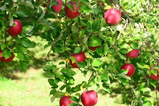 りんご リンゴ 林檎 林檎の木 植物 自然 果樹 果物 新鮮 赤い 木 葉 緑 りんごの木 リンゴの木 美味しい フル-ツ 果樹園 秋