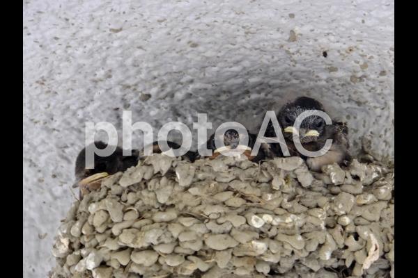 ツバメのヒナ3の写真