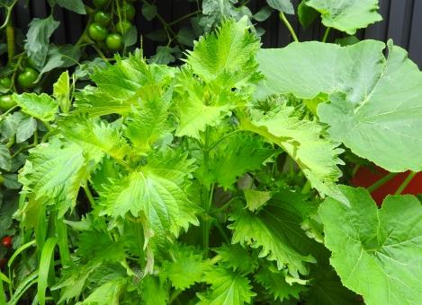しそ シソ 紫蘇 しその葉 シソの葉 紫蘇の葉 野菜 夏野菜 自然 畑 はたけ 材料 背景 素材 季節 夏 初夏 7月 8月 家庭菜園 菜園 引き 余白