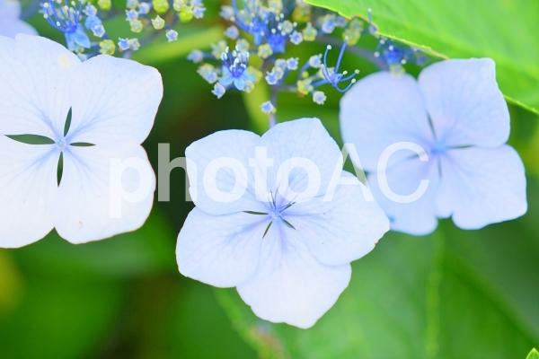 植物 花 アジサイの写真