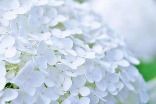 紫陽花 アジサイ 花 六月 梅雨 植物 白い グリーン 花びら 満開 初夏 公園 風景 自然 スナップ white ホワイト ドーム 半円 傘 日傘 レース ふうわり ふんわり 優しさ 柔らかい