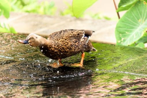 鴨 動物 鳥類 生き物 野生 野鳥 鳥 カモ 水しぶき 振る 首を振る 水浴び 夏 行水 生き生き