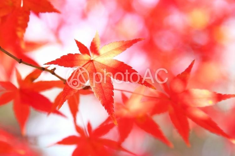 モミジの紅葉 赤い葉っぱの写真