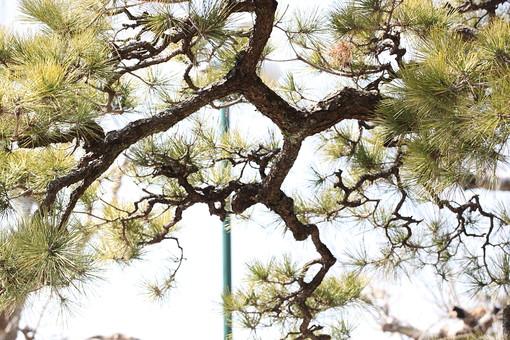 松 松の木 植物 空 緑色 木 アップ 自然 屋外 晴れ 庭園 庭木 庭 樹 樹木 植物 針葉樹 枝 葉 葉っぱ 木肌 クローズアップ ぼかし 昼間 日中