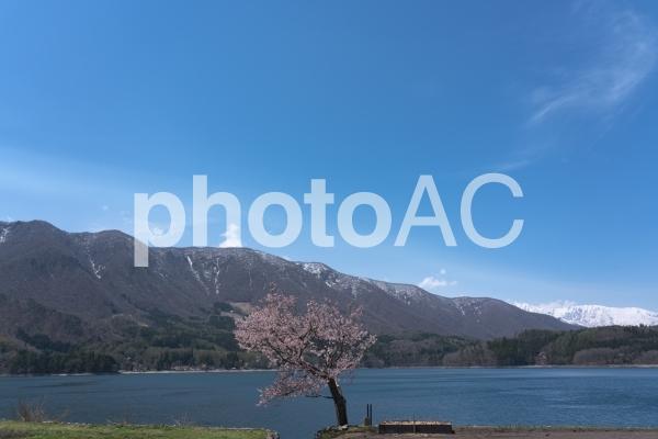 青木湖の桜の写真