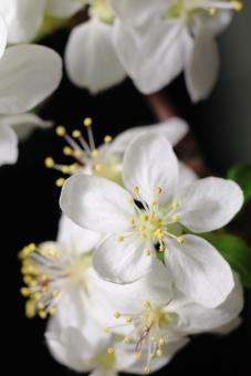 花 植物 くだもの 果樹 りんご リンゴ 縦位置 白 余白