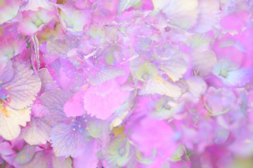 テクスチャー 印象 アジサイ 花 植物 横位置 梅雨 紫 ピンク 淡い 紫陽花 あじさい ソフト やわらか 明るい 余白 背景