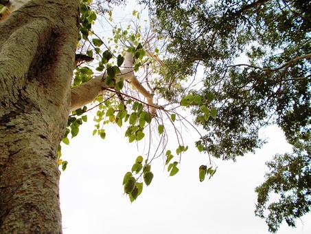 自然 植物 空 陽射し 木漏れ日 太陽 太陽光 日光 光 逆光 雲 青 白 木 樹木 葉 葉っぱ 緑 枝 幹 成長 育つ 伸びる 密集 集まる 多い 沢山 重なる 交差 見上げる 高い 広い アップ 風景 景色 無人 室外 屋外