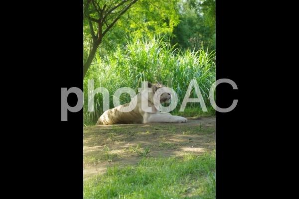 ホワイトタイガーの写真