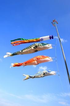 鯉のぼり こどもの日 子供の日 端午の節句 鯉 コイ 泳ぐ 青空 空 吹き流し ゴールデンウィーク 5月5日 5月 親子 祝日 田んぼ 腹ビレ 縦