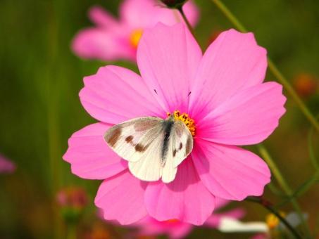 蝶 昆虫 自然 nature ネイチャー 野外 屋外 景色 風景 モンシロチョウ コスモス 秋桜 花 植物 pink ピンク 秋 9月 九月 生き物 生きもの 生物 虫 紋白蝶 蝶々 butterfly バタフライ チョウチョウ チョウ チョウチョ ちょう ちょうちょ ちょうちょう