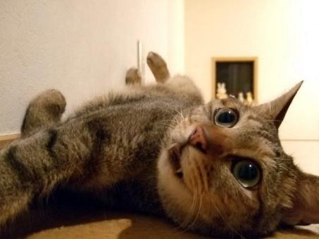 猫 ネコ ねこ 愛猫 仰向け 輝く瞳 大きな目 ひっくり返る 顔 表情 猫の手 牙 笑顔 考え事 ひらめき 閃き ヒラメキ 瞳 家猫 飼い猫 室内猫 動物 かわいい 寝そべった リラックス くつろぐ だらける ちゃこ 腹見せ にやける