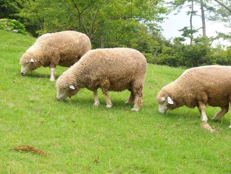 羊 ヒツジ ひつじ もこもこ 牧場 はぐ もぐ ふわふわ 3匹 牧草 食べる 斜面 六甲 神戸