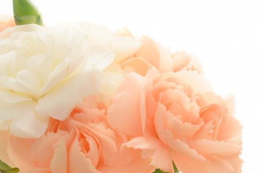母の日 カーネーション コーラルピンク ピンク 淡いピンク 淡い 白 プレゼント メッセージ メッセージカード コピースペース 文字スペース 白バック 背景 壁紙 テクスチャ カード 綺麗 明るい クローズアップ アップ 花言葉 感謝 尊敬 パステル 花束 贈りもの 贈り物 フラワーアレンジメント アレンジ アレンジメント 花 植物 母 お母さん ふんわり 花びら フリフリ ふりふり フリル