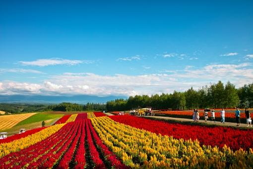 真夏の花畑の写真