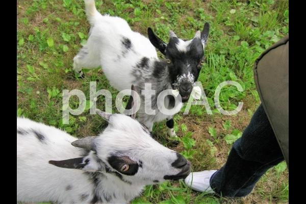 子ヤギ2匹の写真