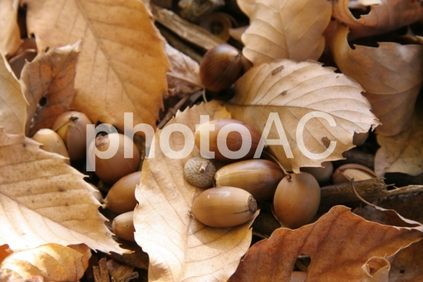 どんぐり 秋の写真