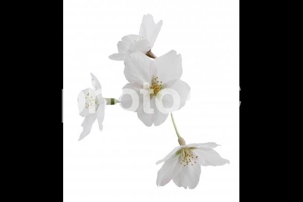 切り抜き写真素材 桜の花びら 16-01の写真