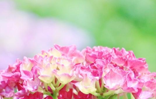 紫陽花 アジサイ 花 花びら pink ピンク ピンク色 植物 梅雨 初夏 風景 景色 景観 壁紙 背景 テクスチャ 素材 半円 ドーム 満開 優しさ 柔らかさ 癒し ひたむき 開く 咲く グリーン 緑 緑色 公園 かたつむり カタツムリ 蝸牛 綺麗 キレイ きれい 可愛い かわいい 愛らしい ひそやか 艶やか 鮮やか 自然