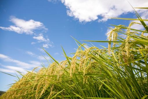 稲 水田 収穫 秋 米 植物 農業 稲作 風景 食べ物 イネ コシヒカリ 青空 実り