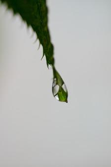 雨 濡れる 濡れた 雫 しずく 水滴 水分 水 露 雨天 クローズアップ 自然 風景 植物 悪天候 屋外 野外 ウェット 自然背景 雨粒 レイン 透明 丸い 粒 葉 草 葉っぱ 葉脈 緑 一粒 落ちる 一滴