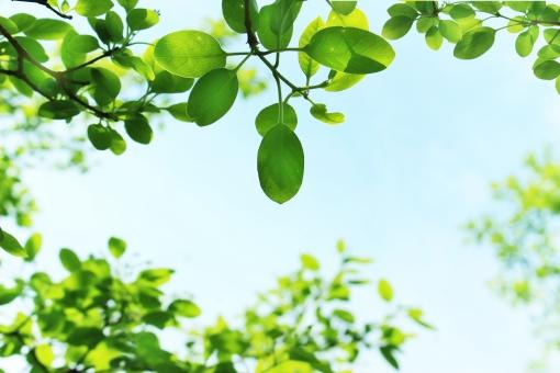 なんじゃもんじゃ ナンジャモンジャ ヒトツバタゴ 絶滅危惧 安らぎ リラックス リラクゼーション 青空 晴れ 葉 葉っぱ フレーム テクスチャ 空 緑 新緑 背景 春 夏 木 木の枝 木の葉 さわやか テキストスペース コピースペース 爽やか 清らか 清々しい すがすがしい 行楽日和 お出かけ日和 木漏れ日 避暑 涼しい 涼 クール 木陰 風景 自然 メッセージカード 葉書 はがき ハガキ ポストカード 壁紙 枠 グリーティングカード 暑中見舞い 明るい グリーン 水色
