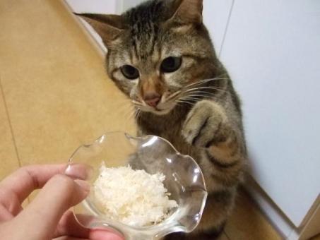 ネコ 猫 ねこ 猫の手 ちょうだい 頂戴 片手を上げる 見つめる 表情 顔 真剣なまなざし おやつ ペット 動物 生き物 飼い猫 室内猫 家猫 白いひげ 3時のおやつ かわいい 可愛い ちゃこ