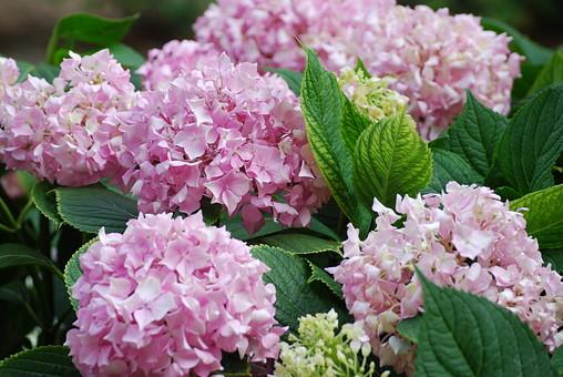 花 紫陽花 アジサイ あじさい 背景 植物 アップ 葉 紫色 さわやか 満開 バックグラウンド 季節 初夏 緑の葉 開花 咲く 梅雨 生花 6月 六月 雨季 入梅 雨期 むらさき 赤紫