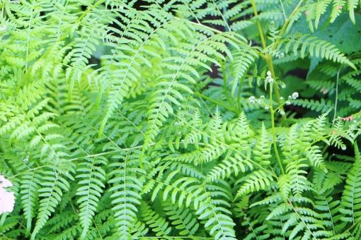 葉 葉っぱ シダ シダの葉 シダ類 リーフ leaf 緑 緑色 グリーン green 若葉 若葉色 陽射し 日差し 植物 若い 若々しい 爽やか スッキリ すっきり 自然 風景 景色 景観 壁紙 テクスチャ 背景 素材 青い 青い葉 青い葉っぱ 緑の葉っぱ 緑色の葉っぱ 気持ちいい 気持ち良い 黄緑 黄緑色 イエローグリーン yellowgreen 夏 真夏 涼しい 涼やか 涼しさ 涼 癒し 優しい 優しさ