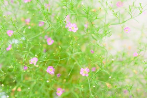 カスミソウ かすみそう かすみ草 霞草 花 植物 小花 小さい花 ピンク 桃色 一面 たくさん 明るい 花言葉 切なる願い 可愛い かわいい 壁紙 テクスチャ ヘッダー