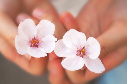 さくら サクラ 桜 桜の花 植物 ソメイヨシノ 春の花 日本の花 お花見 四季 春 子供の手 手 摘まむ ピンク チェリーブロッサム チェリー 卒業 入学 校庭 公園