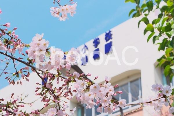 桜の木と学校の校舎の写真