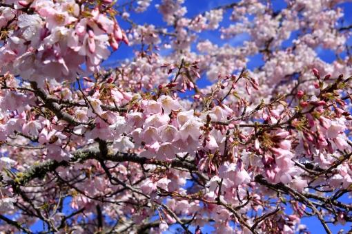 桜の花の写真