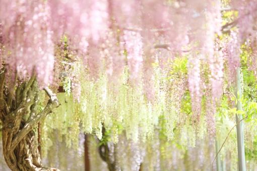植物 花 藤 4月 5月 ピンク ハイキー 大型連休 行楽 春 初夏 シャングリラ 楽園 明るい 白 花園 幸せ 余白 背景 イメージ 幸福 快楽 ニッコール 非ai ニコン クラッシック アンティーク レンズ フィルム アダプター 135mm ニコンレンズ 横位置 エアリーフォト