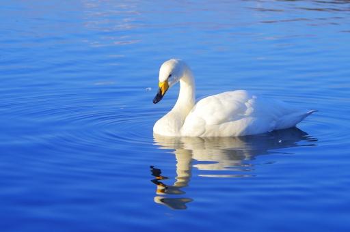 白鳥 ハクチョウ 鳥 生物 渡り鳥 オオハクチョウ スワン 青 白 湖 水面 波紋 冬 冬の使者 羽