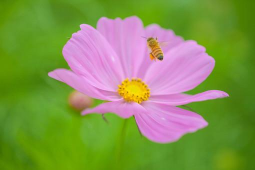 秋の風景 コスモス アキザクラ 秋桜 ミツバチ ハチ 蜂 桃色 ピンク 緑 コスモス畑 蜜 植物 昆虫 花 草花 花畑 一輪 散歩 散策 自然 風景 景色 のどか 背景 ボケ味 ピントぼけ アップ