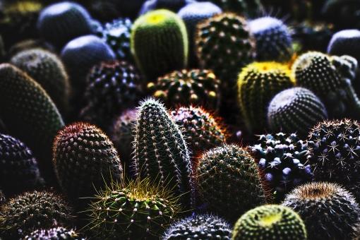 植物 自然 サボテン さぼてん シャボテン 仙人掌 多肉植物 緑 棘 痛い 刺さる 伸びる 成長 覆う 砂漠 乾燥 アップ 屋外 景色 無人 生 新鮮 丸い 球形 球体 生える 野生 規則正しい