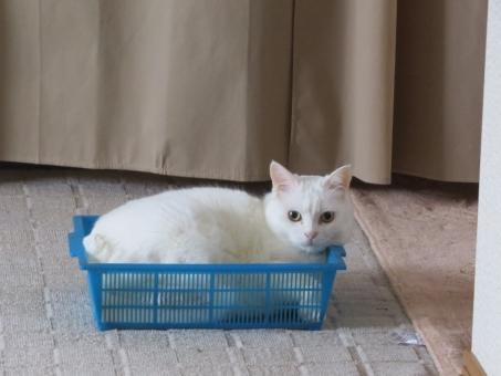 ねこ 猫 白 白猫 しろねこ ぬこ かわいい おすまし 籠 かご カゴ 青 cute cat どや顔 ドヤ顔 なにか