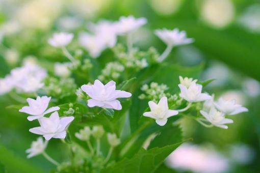 あじさい アジサイ 紫陽花 梅雨 6月 六月 背景 背景画像 背景素材 壁紙 みどり グリーン 自然 花 植物 初夏 素材 アップ クローズアップ 明るい キラキラ きらきら 光 露 しずく 雫 雨 一滴 輝く 輝き 葉 葉っぱ 緑 さわやか 爽やか 白 しろ ホワイト 星