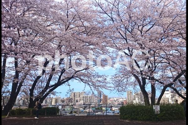 聖蹟桜ヶ丘の桜の写真