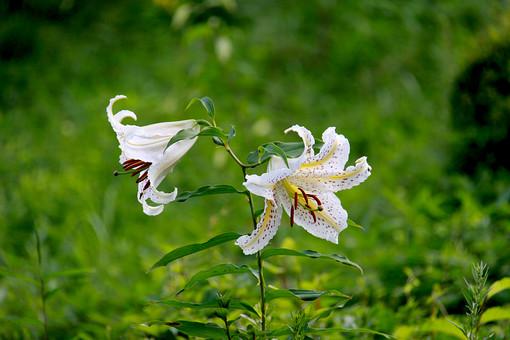 ユリ ゆり 百合 ヤマユリ やまゆり 山百合 植物 屋外 外 庭 ガーデニング 花壇 栽培 趣味 花びら 花弁 アップ 自然 野生 自生 野草 可憐  白い花 白い百合 白百合