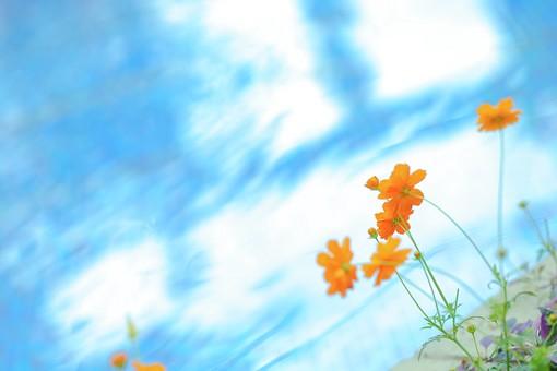 植物 花 被子植物 フラワー  自然 ナチュラル ネイチャー  幻想 幻想的 不思議 ファンタスティック ファンタスチック ドリーミー 夢幻 夢幻的 空想 空想的 ファンタジック  コスモス キバナコスモス キク科 オレンジ色 橙色 黄花コスモス 7月 8月 9月 10月 野性美 幼い恋心 青空 お空 空 蒼穹 蒼空 晴天 ブルースカイ 青い ブルー