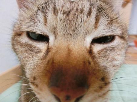ネコ 猫 表情 アップ 顔 怪しむ 怪しい 疑う 細目 しらける 聞こえないふり 知らんぷり 目を細める 睨む にらむ 接写 マクロ 家猫 飼い猫 室内猫 CAT 見つめる ペット 動物 生きもの ちゃこ 可愛い 悩む 考え中 う~ん