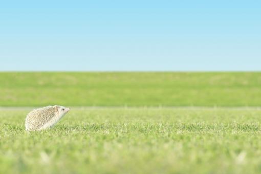 夏のおわり お散歩 ハリネズミの写真