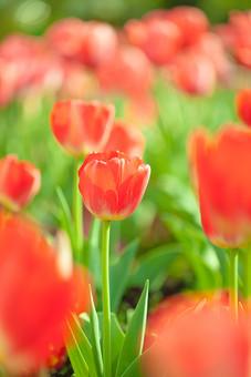 自然 植物 花 花びら 春 アップ 赤 茎 葉 葉っぱ 緑 群生 ピンボケ ぼやける 可愛い 鮮やか 綺麗 華やか 爽やか チューリップ 春 景色 風景 満開 咲く 開く 成長 育つ 多い 密集 集まる 見物 屋外 室外 観光地 無人 幻想的