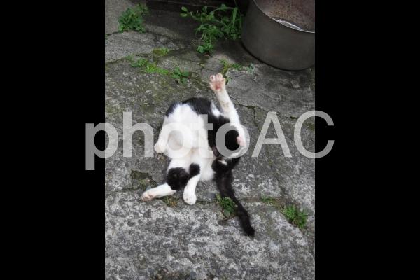 脚をあげて毛づくろいをするウシ柄の猫in谷中の写真